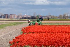 2016年3月20日,荷兰:郁金香在准备好充分的开花被收获,每春天 免版税库存照片
