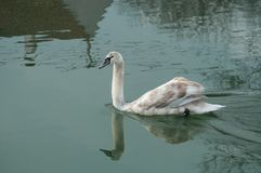 年轻天鹅游泳在有反射的河 库存图片