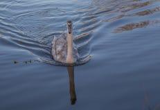 年轻天鹅游泳在日落的一个湖与在水的金黄光 图库摄影