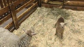 年轻嬉戏的羊羔步行和哭诉 影视素材
