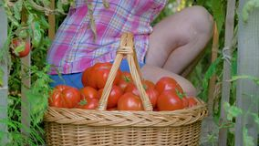 年长妇女自温室收集在成熟蕃茄篮子的手  股票录像