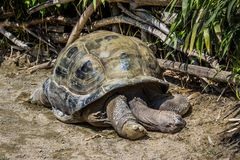 库米亚纳,托里诺/意大利05-15-2015:113岁巨型草龟 免版税图库摄影