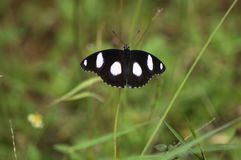 延伸它的翼的蝴蝶的宏指令 免版税图库摄影