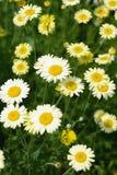 延命菊雏菊花在庭院里 库存照片