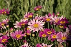 延命菊雏菊,Kondinin,WA,澳大利亚 免版税库存图片