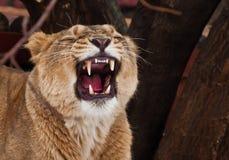 强有力的雌狮咆哮吼声,开放一个巨大的难满足的红色嘴特写镜头;语言、喉头和牙是可看见的 黑暗 库存照片