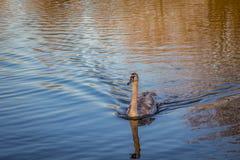强烈游泳横跨湖的小天鹅天鹅 免版税库存图片