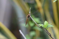 Żółci dragonflies z przejrzystymi, nadużytymi skrzydłami, zdjęcie royalty free