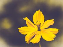 Żółci kosmosów kwiaty kwitną piękną naturę wiosny lata czasu świętowania świeży moment na ciemnym tle zdjęcia stock