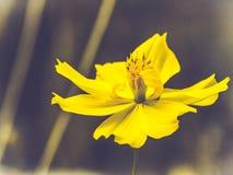 Żółci kosmosów kwiaty kwitną piękną naturę wiosny lata czasu świętowania świeży moment na ciemnym tle obraz stock