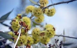 Żółci okwitnięcia Zachodni Australijski rodzimy Eukaliptusowy desmondensis obraz stock
