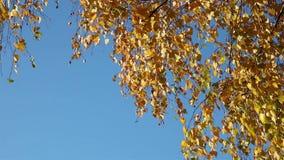 Żółtej brzozy liście od kąta zbiory