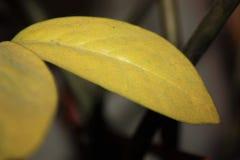 Żółtej zieleni owalni liście zamknięci w górę obrazy royalty free