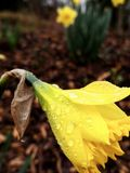 Żółty Daffodil perspektywy światła comtrast obrazy stock
