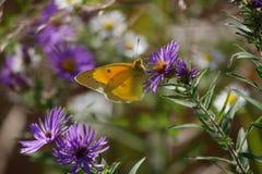 Żółty motyl na purpura kwiacie zdjęcia stock