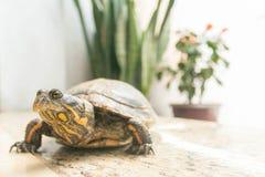 Żółw z rośliny tłem fotografia royalty free