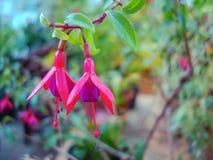 异乎寻常的紫红色的花在城市植物园里 免版税图库摄影
