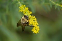 弄糟蜂在黄色花的聚集花粉 免版税库存照片