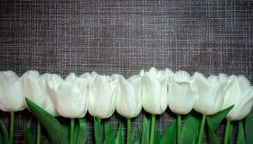 开花在灰色背景的白色郁金香 库存照片