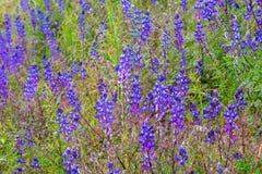 -开花在草甸的狂放的凶猛花-羽扇豆属perennis 免版税图库摄影
