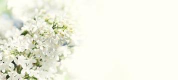 开花的共同的紫丁香属植物寻常的淡紫色灌木白色培育品种 与束的春天风景嫩花 百合 库存照片
