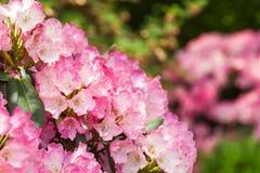 开花的桃红色杜鹃花在庭院里 免版税图库摄影