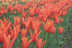 开花的橙色郁金香行  免版税库存照片