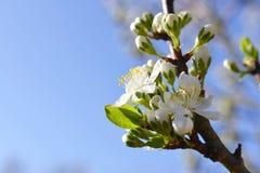 开花的洋李,与白花的分支在模糊的自然背景 免版税库存照片