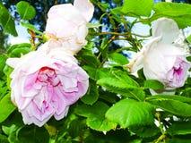开花的玫瑰,玫瑰色花的瓣 库存照片