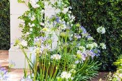 开花的葱属在一个美丽的庭院里 图库摄影