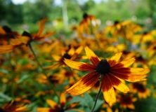 开花的黄金菊或火球在城市庭院里 库存照片