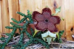 开花的edithcolea grandis 图库摄影