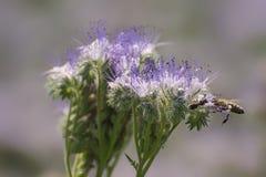 开花的phacelia吸引蜂 它在蜂房附近垂悬收获蜂蜜 库存照片