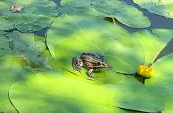 Żaba siedzi na zielonym liściu zdjęcia royalty free