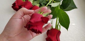Żeńscy ręka chwyty jeden kwiat od bukieta pięć czerwonych róż zdjęcia stock