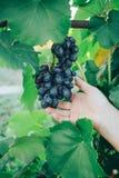 Żeńska ręka trzyma winogrona na tle zieleni liście winogrona, w średnim wieku, ocet obrazy royalty free