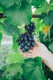 Żeńska ręka trzyma winogrona na tle zieleni liście winogrona, w średnim wieku, ocet obrazy stock