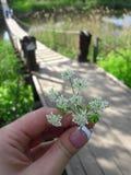 Żeńska ręka z białym kwiatem na tle drewniany zawieszenie most przez rzekę zdjęcie royalty free