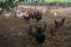 Żyje domowej roboty kurczaki na podwórko w wiosce fotografia stock