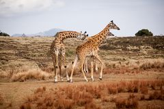 Żyrafy Camelopardalis rodzina zdjęcie royalty free