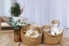彭布罗克角威尔士在的小狗小狗户内篮子 库存照片
