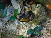 得到一些清早太阳的青蛙 免版税图库摄影