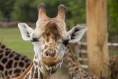 快乐的闪光的长颈鹿 免版税库存照片