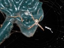 圣安德鲁斯球场在背景在网的十字架蜘蛛宏观照片隔绝的 免版税库存图片