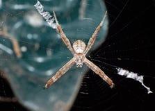 圣安德鲁斯球场在背景在网的十字架蜘蛛宏观照片隔绝的 库存图片