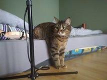 在一个奇怪的位置的家猫在一个矫形床垫在公寓 库存照片
