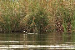 在一个安静的小海湾的两荷花在热带河 免版税图库摄影