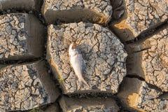 在一个干空的水库或水坝的死的鱼由于夏天热浪、低降雨量、污染和天旱在北部卡纳塔克邦, 免版税图库摄影