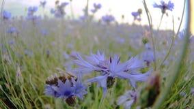 在一朵蓝色黑矢车菊属草甸花附近的一次蜂飞行在没有人的夏天领域紧密在4K的看法缓慢的mo录影 影视素材