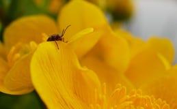 在一朵黄色花的小的臭虫 免版税图库摄影